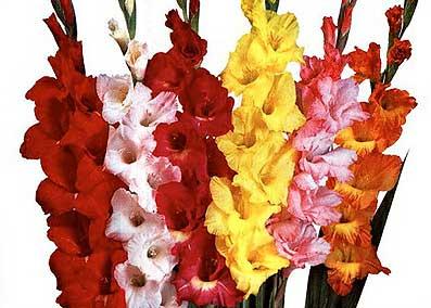 Cara Bercocok Tanam dan Membudidayakan Gladiolus Hybridus