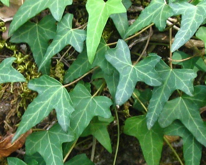 Hedera : Flower Encyclopedia