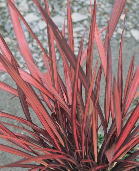 Phormium Flower Encyclopedia