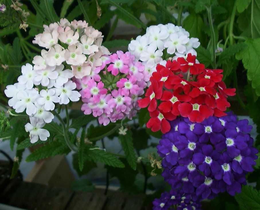 Verbena : Flower Encyclopedia